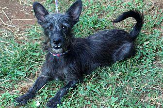 Schnauzer (Miniature)/Yorkie, Yorkshire Terrier Mix Puppy for adoption in Newark, Delaware - Sparky