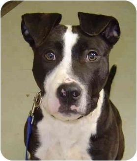 American Pit Bull Terrier/Bull Terrier Mix Puppy for adoption in Middletown, Connecticut - Bodie