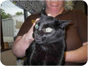 American Shorthair Cat for adoption in Olney, Illinois - Adora
