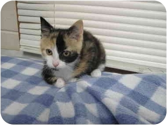 Calico Kitten for adoption in Spruce Pine, North Carolina - Lou Lou