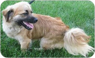 Papillon/Chihuahua Mix Dog for adoption in Mt. Prospect, Illinois - Peanut