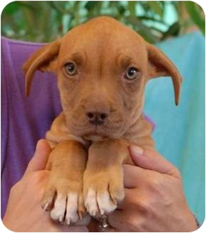 Pit Bull Terrier Mix Puppy for adoption in Las Vegas, Nevada - Ariel
