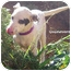 Photo 1 - Dalmatian Mix Puppy for adoption in Mandeville Canyon, California - Guinevere