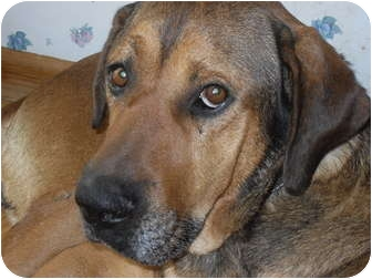 Bloodhound/Labrador Retriever Mix Dog for adoption in Newport, Vermont - Ted