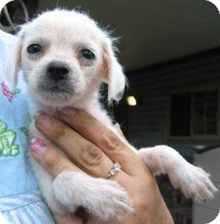 Poodle (Miniature) Mix Puppy for adoption in Schertz, Texas - Zena