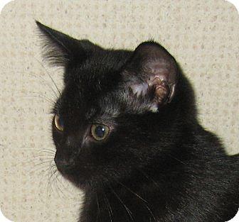 Domestic Shorthair Kitten for adoption in Hamilton, New Jersey - FINN