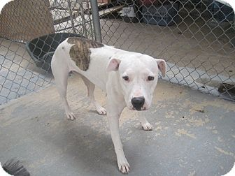 American Pit Bull Terrier Mix Dog for adoption in San Antonio, Texas - Lola