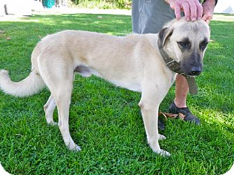 Mastiff/Shepherd (Unknown Type) Mix Dog for adoption in Metamora, Indiana - Blake
