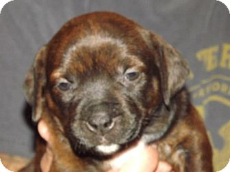 Pit Bull Terrier/Dachshund Mix Puppy for adoption in New York, New York - Chanel