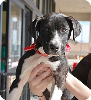American Pit Bull Terrier Mix Puppy for adoption in White Settlement, Texas - Cathy's Pup5-Katie-passed1/22