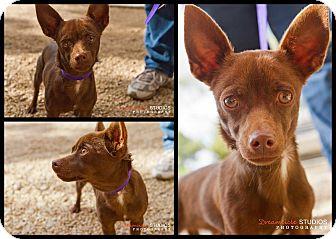 Chihuahua Mix Dog for adoption in Phoenix, Arizona - Brownie
