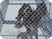 Bluetick Coonhound Dog for adoption in Dundas, Virginia - Blue Tick -animal control