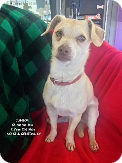Chihuahua Dog for adoption in Lancaster, Kentucky - Junior