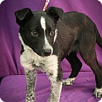 Adopt A Pet :: Polar - Broomfield, CO