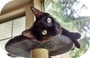Domestic Shorthair Kitten for adoption in Vancouver, British Columbia - Eros