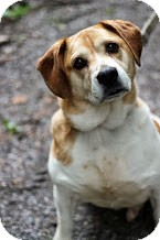 Beagle/American Bulldog Mix Dog for adoption in Tinton Falls, New Jersey - Jersey