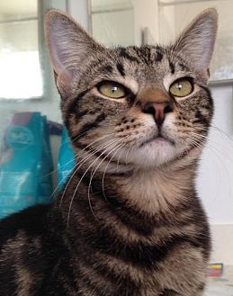 Domestic Shorthair Cat for adoption in Miami, Florida - Jasmine