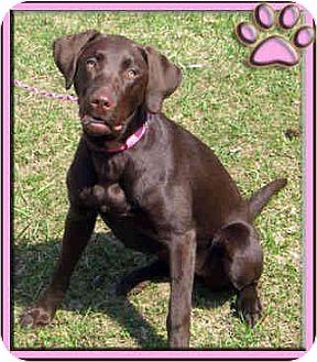 Labrador Retriever Dog for adoption in Kirkland, Quebec - Ruby