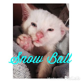 American Shorthair Kitten for adoption in Cameron, North Carolina - Snow Ball