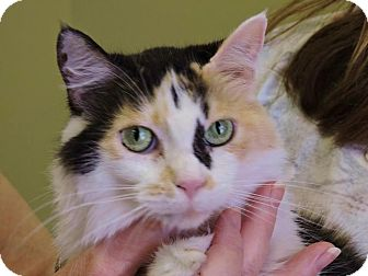 Calico Cat for adoption in Texarkana, Arkansas - Pinky
