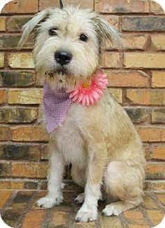Terrier (Unknown Type, Medium) Mix Dog for adoption in Benbrook, Texas - Daisy