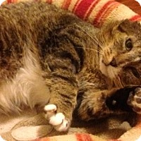 Domestic Shorthair Cat for adoption in Toronto, Ontario - Boots