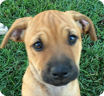 Black Mouth Cur Mix Puppy for adoption in Preston, Connecticut - Wilma Adopted