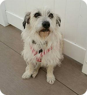 Terrier (Unknown Type, Small) Mix Dog for adoption in Valencia, California - Frodo