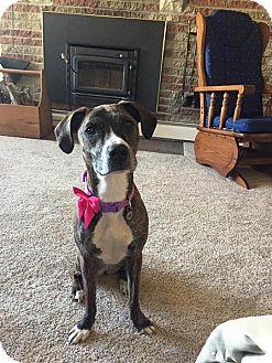 Greyhound/Boxer Mix Dog for adoption in Silver Lake, Wisconsin - DAYZIE