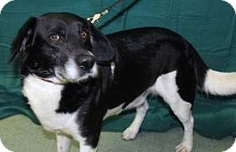 Border Collie/Beagle Mix Dog for adoption in Mt. Prospect, Illinois - Norman