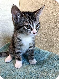 Domestic Shorthair Kitten for adoption in Las Vegas, Nevada - Fawn