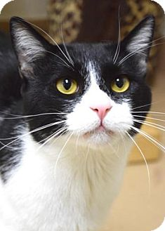 Domestic Shorthair Cat for adoption in Dublin, California - Bruce