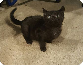 Domestic Shorthair Kitten for adoption in Raritan, New Jersey - Lady