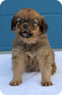 Golden Retriever Mix Puppy for adoption in Waldorf, Maryland - Ginger