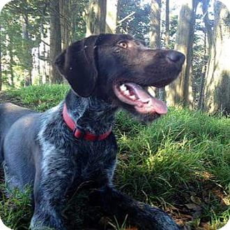 German Wirehaired Pointer Dog for adoption in Piedmont, California - Bogey