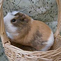 Adopt A Pet :: POM POM - Goleta, CA
