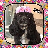 Adopt A Pet :: Raven - Santa Barbara, CA