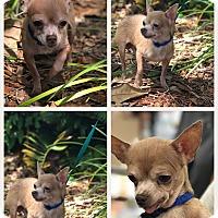 Adopt A Pet :: hobbit - Homestead, FL
