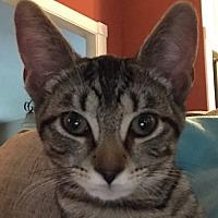 Adopt A Pet :: Tigress - Lexington, KY
