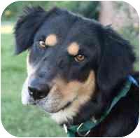 Australian Shepherd Mix Dog for adoption in Marion, Arkansas - Delilah