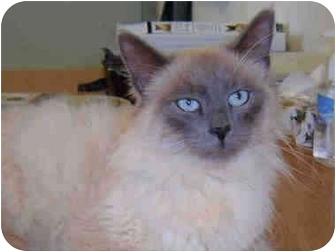 Ragdoll Cat for adoption in Davis, California - Nimbus
