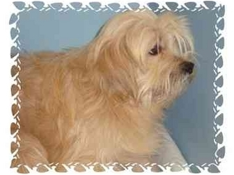 Lhasa Apso/Cocker Spaniel Mix Dog for adoption in Bristow, Oklahoma - Henry