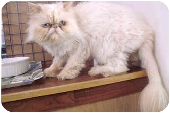 Himalayan Cat for adoption in Davis, California - Misha