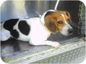 Beagle Mix Dog for adoption in Houston, Texas - Bevo