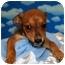 Photo 1 - Shepherd (Unknown Type) Mix Puppy for adoption in Broomfield, Colorado - 1Leonardo