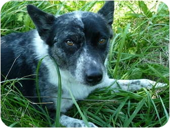 Australian Cattle Dog Mix Dog for adoption in Waynetown, Indiana - Jack