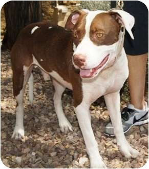 American Pit Bull Terrier/American Pit Bull Terrier Mix Dog for adoption in Gilbert, Arizona - Saturn