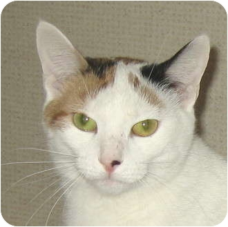 Domestic Shorthair Cat for adoption in Hamilton, New Jersey - HALEY