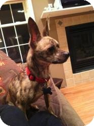 Chihuahua Mix Dog for adoption in Manahawkin, New Jersey - Alex