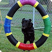 Labrador Retriever Dog for adoption in Sarasota, Florida - Eva